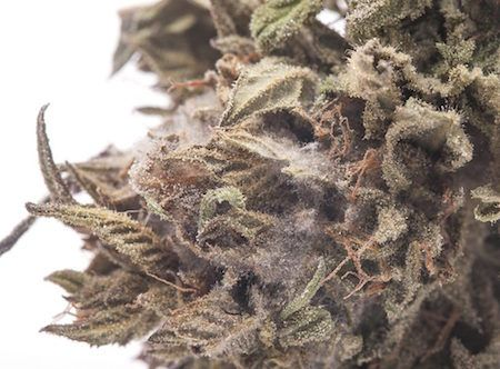 Residents in Ontario Discover Mold in their Federal Supplied Marijuana