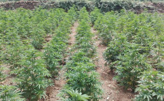 Start growing cannabis in June (North hemisphere) or December (south)
