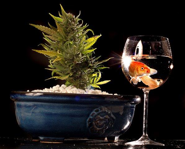 Principios del cultivo de marihuana en acuaponía